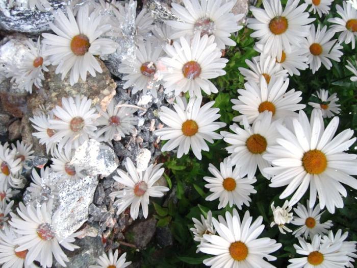 Pricksy daisies[byP